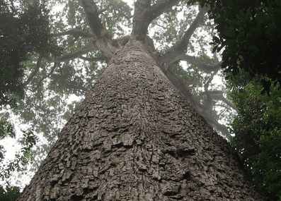 "The mystery of Ghana's ""Big Tree"""