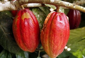 Organic cocoa has higher market value – Glover