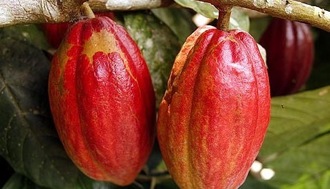 Minority unhappy with government on cocoa prices, fertiliser sale