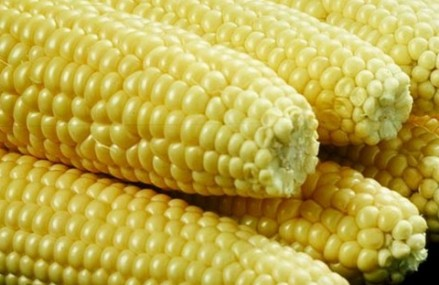 Maize production in Ghana is threatened – ISSER