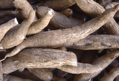 Researchers review cassava diseases control project