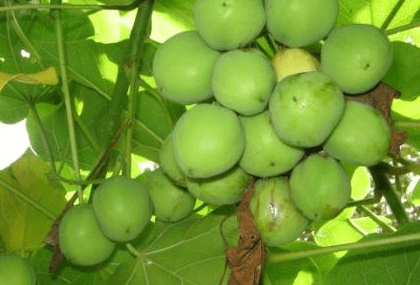 Ghana's Jatropha conundrum- Begging for more answers