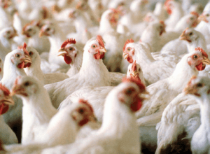 Akuapem South to develop biggest poultry industry in Ghana – Minister
