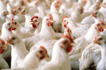 FAO asks for $20m to prevent avian flu in West Africa