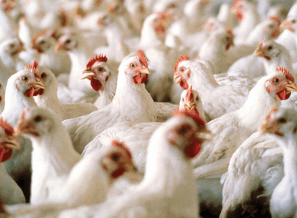 Ghanaian poultry hatcheries producing at 60% of capacity