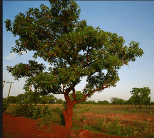 Economic trees in Upper East Region under threat