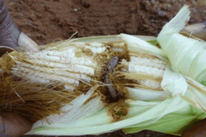 Fighting the fall armyworms: Detergent and herbal concoctions to the rescue
