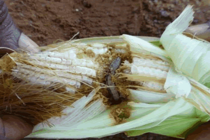 Fall Armyworm invasion could derail government's agriculture initiative – Stakeholders