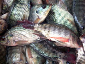 Tema fishmongers fight to restore tilapia appeal