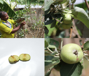 Government urged to consider prospects of growing apples in Ghana