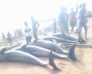 Dolphins and other fishes washed ashore Brawie beach