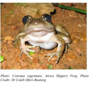 New frog species found in Atewa Range Forest Reserve